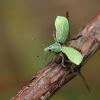 Listohlod stromovy 2195